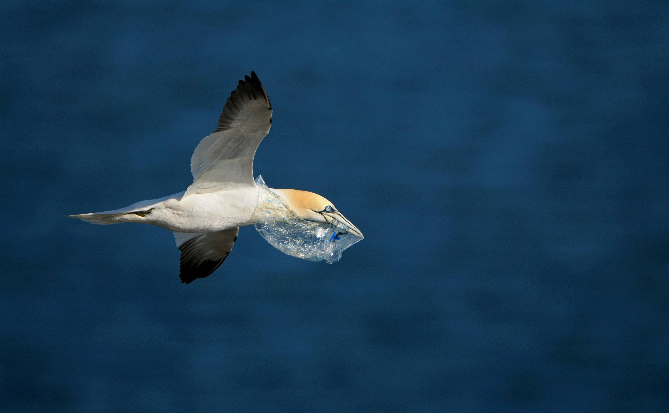 Vogel an der Nordsee mit Müll im Schnabel